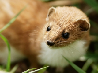 Weasel accussed of shutting down atom smasher