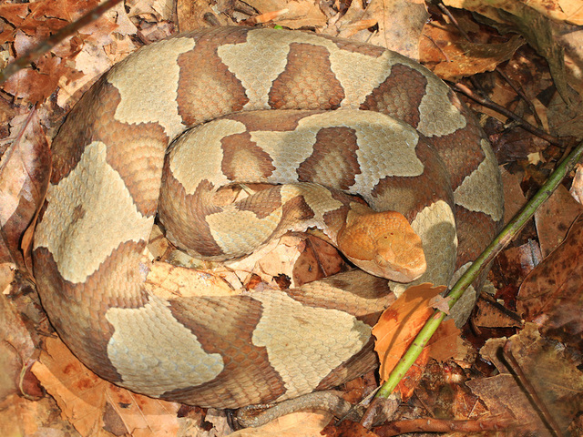 2 pit bulls save Florida children from venomous copperhead snake